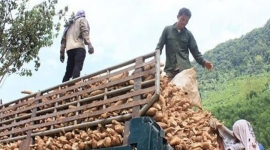 Xuất khẩu sắn cạnh tranh khốc liệt với Thái Lan, Lào, Campuchia