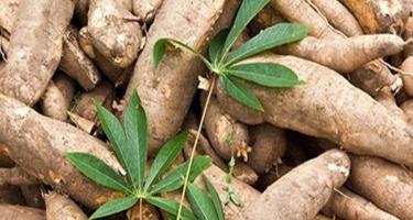 Thái Lan thỏa thuận xuất khẩu sắn trị giá 590 triệu USD với Trung Quốc