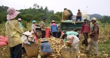 Bắp nhập khẩu 'đè bẹp' bắp nội, dân bắt đầu chán trồng bắp
